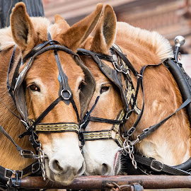 A Sweet Pair by Judy Rosanno - Animals Horses ( rodeo parade 2016, san antonio western heritage parade and cattle drive )