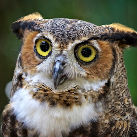 Female great horned owl by Sandy Scott - Animals Birds ( birds of prey, nature, owl, wildlife, birds, horned owl, raptors, great horned owl )