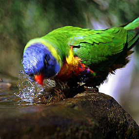 Wake Me Up Face Wash! by Joanne Draper - Animals Birds ( bird, australia, bath, wildlife, lorikeet )
