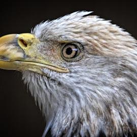 Close-up of a juvenile bald eagle by Sandy Scott - Animals Birds ( birds of prey, animals, eagle, nature, bald eagle, birds, eagle portrait, raptors )
