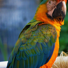 Parrot 1 by Vijay Govender - Animals Birds ( colorful, parrots, feathers, birds,  )
