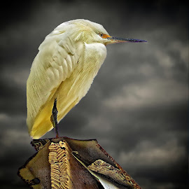 Egret on a shack by Sandy Scott - Animals Birds ( clouds, stormy, animals, shack, wildlife, water birds, skies, bird, shore birds, fishing birds, nature, rule of thirds, white birds, egret, great egret )