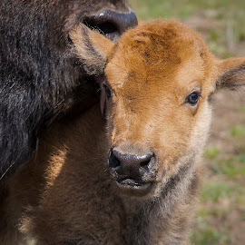 Licked by Dan Kinghorn - Animals Other ( yellowstone, yellowstone bison calves, yellowstone bison, bison calf, calf bison )