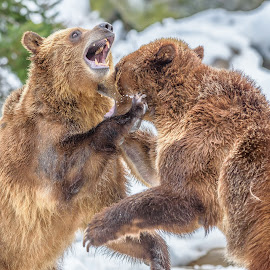 Grizzly Bears by John Sinclair - Animals Other Mammals ( grizzly, nature, grizzlybear, bears, snow, wildlife,  )
