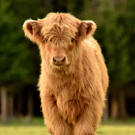 calf of Highland cattle by Kristin Smestad - Animals Other ( higland, calf, cow, brown, bull, cattle, hc )