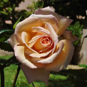 GENTLENESS by Wojtylak Maria - Flowers Single Flower ( rose, gentle, blooming, garden, flower,  )