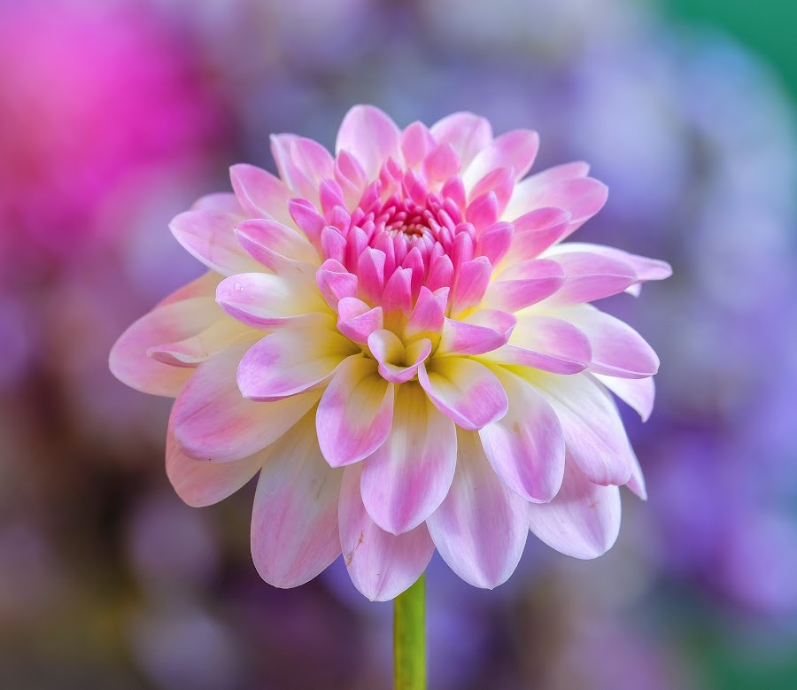 White, pink and magenta Dahlia by Jim Downey - Flowers Single Flower ( magenta, pink, white, dahlia, yellow )