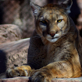 Mountain Lion by Shawn Thomas - Animals Lions, Tigers & Big Cats ( predator, resting, cat, fierce, couger )
