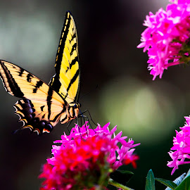 Butterfly Beauty by Lisa Meyers Swanson - Animals Insects & Spiders ( butterflies, flowers, birds,  )