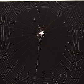 Charlotte and her web! by Terry Linton - Nature Up Close Webs