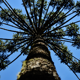 Araucaria - Campos SP by Marcello Toldi - Nature Up Close Trees & Bushes