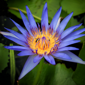 Lotus in Bangkok by Stephan Guenot - Flowers Flowers in the Wild ( bangkok, lotus, blue, flower )