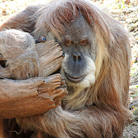 Orangutan by Melanie Davis - Animals Other Mammals ( okczoo, nature, zoo, captive, orangutan, animal )