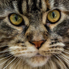 Tini by Tony Burnard - Animals - Cats Portraits ( whiskers close up, maine coone, cat, stare )