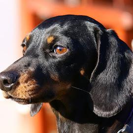 Frankie by Chrissie Barrow - Animals - Dogs Portraits ( smooth, ear, female, ey, pet, dachshund (miniature smooth), fur, dog, nose, tan, black, portrait )