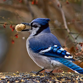 Blue Jay 2151 by D. Jan Anderson - Animals Birds