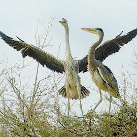 La danse des hérons by Gérard CHATENET - Animals Birds