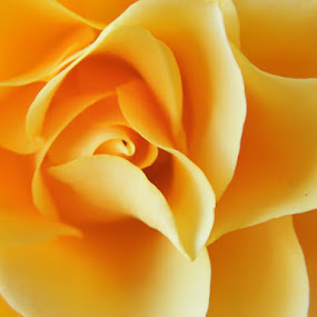 Rose by Stlucia Trumpeter - Nature Up Close Flowers - 2011-2013 ( abstract, rose, nature, flower, beautiful nature )