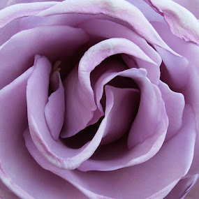 A lilac rose by Tracy Gymellas - Nature Up Close Flowers - 2011-2013