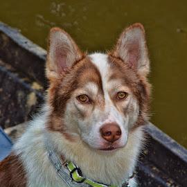 Preston by Deborah Russenberger - Animals - Dogs Portraits ( border collie, copper, husky, boat )