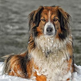Winter Portrait - English Shepherd by Twin Wranglers Baker - Animals - Dogs Portraits (  )