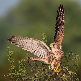 Kestrel Take off by Masood Hussain - Animals Birds ( nature, wildlife, kestrel, birds, raptors )