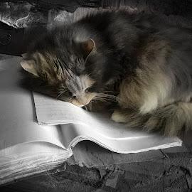 by Ruth Chudaska-Clemenz - Animals - Cats Portraits ( cat, sleepy, sleeping, portrait, animal )