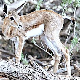 Springbok Baby by Pieter J de Villiers - Animals Other