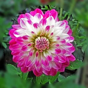 HI dahlia 05 by Michael Moore - Flowers Single Flower (  )
