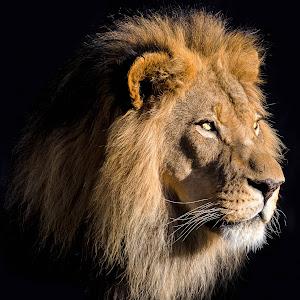 Lion-37.jpg