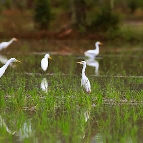the Egrets by Taufik Taspa - Animals Birds ( bird, nature, wildlife, egrets, bird photography )