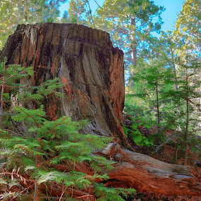 New Life by Danny Bruza - Nature Up Close Trees & Bushes ( new life, forest, redwood )
