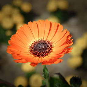 Orange Glow by Gunbir Singh - Flowers Single Flower ( orange, chandigarh, gunbir, closeup, flower )
