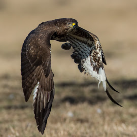 common buzzard by Paul Mcmullen - Animals Birds ( flight, birds of prey, b.o.p., buzzard, birds in flight )