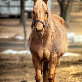 Lone Horse by Sandra Hilton Wagner - Animals Horses ( farm, horse, golden, portrait, animal )