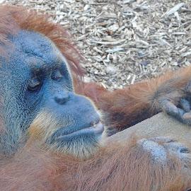 CHIMPANZEE by Wojtylak Maria - Animals Other Mammals ( chimpanzee, zoo, mammal, monkey, brown and black, animal )