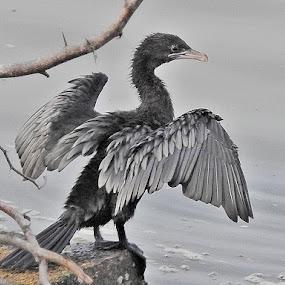 Little cormorant by Govindarajan Raghavan - Animals Birds