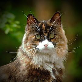 by Bente Agerup - Animals - Cats Portraits ( cats, nature, pets, animales, portrait )