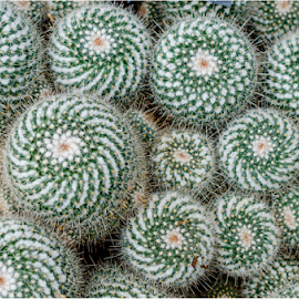 Cactus Pattern by Surendran Narayanamoorthy - Abstract Patterns ( macro photography, cactus patterns, fibonacci patterns, cactus flower pattern )
