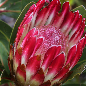 Protea by Gerrit vd Merwe - Novices Only Flowers & Plants