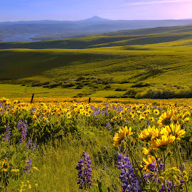Dalles Fields by Gabriel Gutierrez - Landscapes Mountains & Hills ( dalles, mt hood, travel, spring, fields,  )