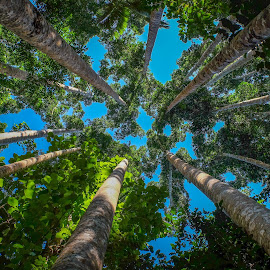 Looking Up - Kauri Pines by Brent McKee - Landscapes Forests ( fuji x, qld, blue sky, australia, bush, trees, forest, kauri pines, rainforest )