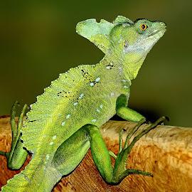Basilicus horribilis by Gérard CHATENET - Animals Reptiles
