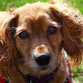 Coco by Chrissie Barrow - Animals - Dogs Portraits ( cocker spaniel, pet, white, fur, ears, long, dog, nose, tan, portrait, eyes )