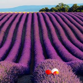 Lavender Fields 2018 by Stanley P. - Landscapes Prairies, Meadows & Fields
