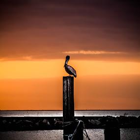 The Lone Pelican by Victoria Evans - Animals Birds ( water, bird, sunset, louisiana, pelican )