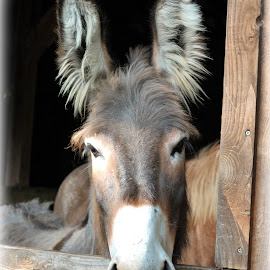 Donkey! by Jesse Conway - Animals Horses ( animals, donkey, photography, portrait, animal )