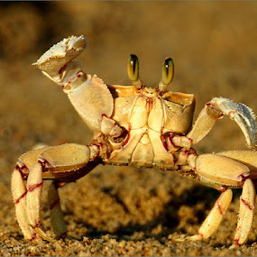 Male crab by Tom Prins - Animals Sea Creatures