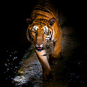 TIGER by Arthit Somsakul - Animals Lions, Tigers & Big Cats ( see, tiger, saw, walk, black, animal )
