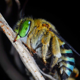 Blue Banded Bee by Eko Waluyo - Animals Insects & Spiders ( macro, bee, insect, close up, photography )